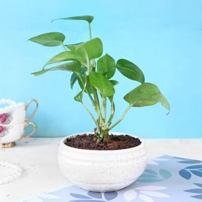 Money Plant in White Ceramic Planter