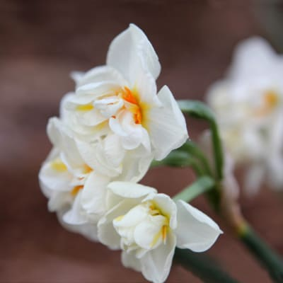 Narcissus Abba (Bunch of 10)
