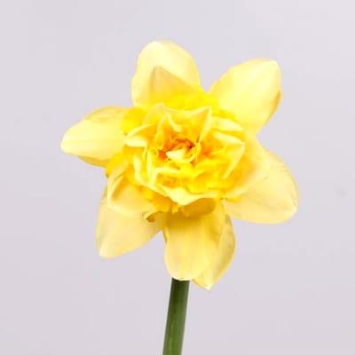 Narcissus Dick Wilden Double (Bunch of 10)