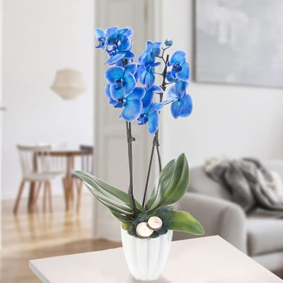 Orchid in white pot with blue blossoms