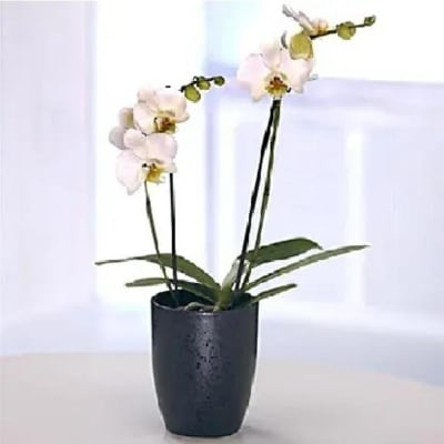 Orchid Plant in a Vase