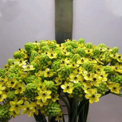 Ornathigolum Saundersiae Yellow (Bunch of 10)