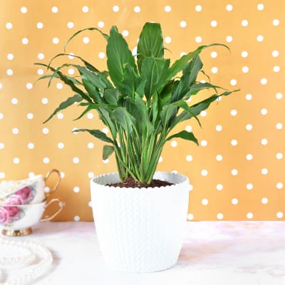 Peace Lily Plant in Plastic Planter