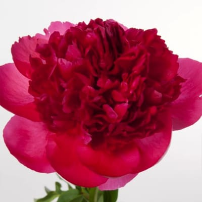 Peonies Command Performance (Bunch of 10)
