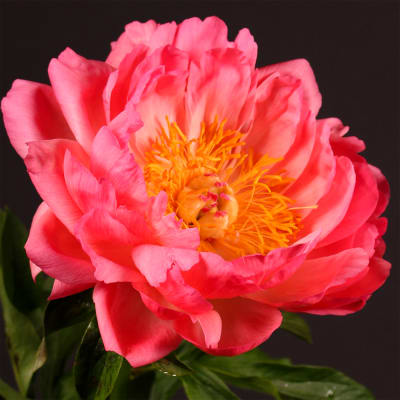 Peonies Coral Sunset (Bunch of 10)
