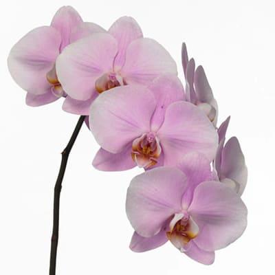Phalaenopsis An Manila (per Stem)