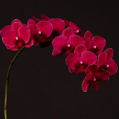 Phalaenopsis An Montreux (per Stem)