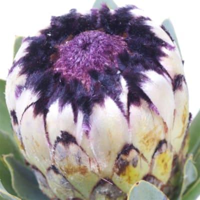 Protea Niobe (Bunch of 5)