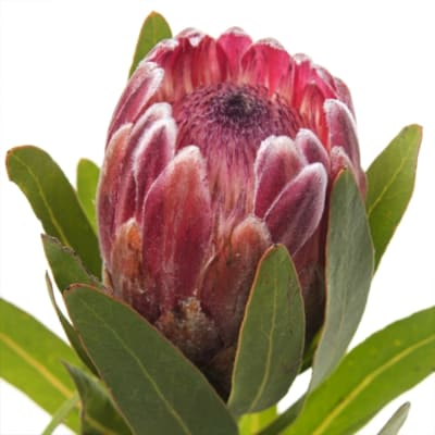 Protea Pink Ice (Bunch of 5)