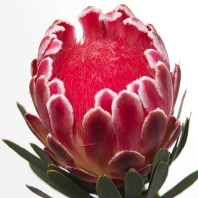 Protea Venus (Bunch of 5)