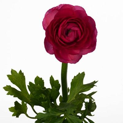 Ranunculus Amandine Bonbon (Bunch of 10)