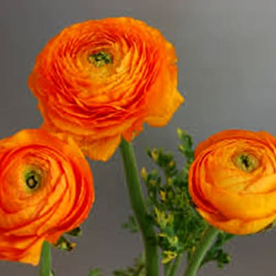 Ranunculus Amandine Orange (Bunch of 10)