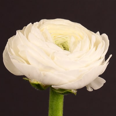 Ranunculus Amandine White (Bunch of 10)