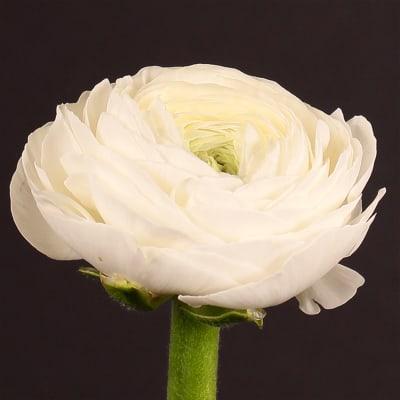 Ranunculus Amandine White (Bunch of 10)