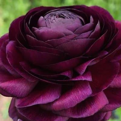 Ranunculus Asiaticus Elegance Violet (Bunch of 10)