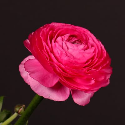 Ranunculus Cloni Extra Rosado (Bunch of 10)
