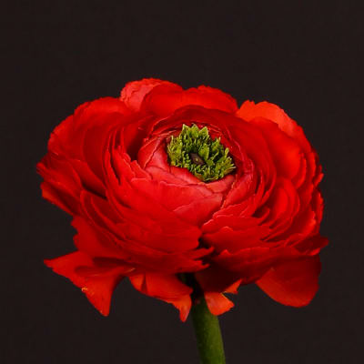 Ranunculus Clooney Tango Red (Bunch of 10)