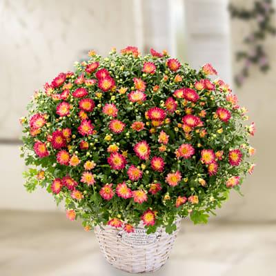 Red chrysanthemums in a wicker basket