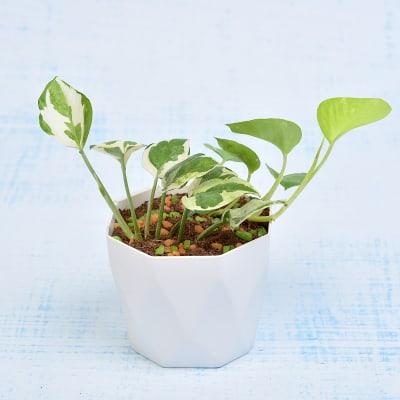 Rolling Nature Auspicious Money Plant (Mild Light/More Water)
