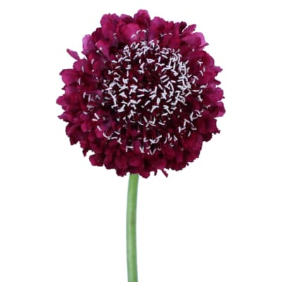 Scabiosa Strawberry Scoop (Bunch of 10)