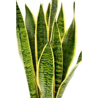 Snake Grass (Bunch of 10)