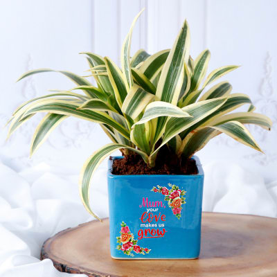 Song Of India Plant In Mom's Love Blue Ceramic Planter
