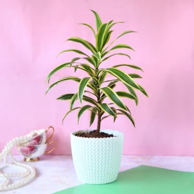 Song of India Plant in Plastic Planter