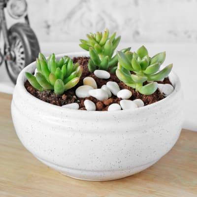 Succulent in White Ceramic Planter