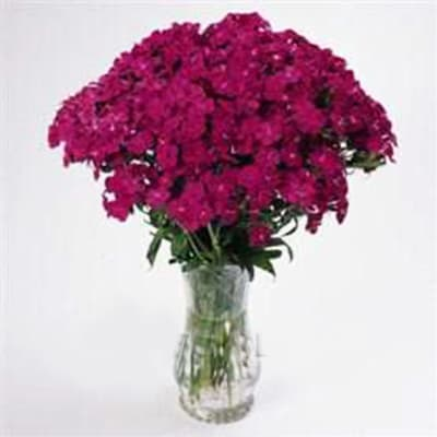 Sweet Williams Amazon Neon Purple (Bunch of 10)