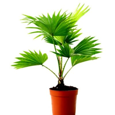 Table Palm (Bunch of 10)