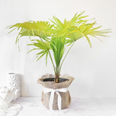 Table Palm in Jute Wrapping with Plastic Planter