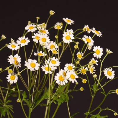 Tanacetum Campagne (Bunch of 10)
