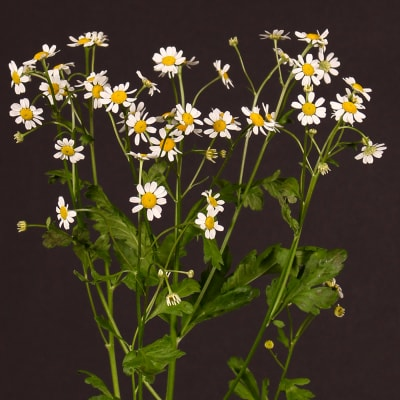 Tanacetum Single Vegmo (Bunch of 10)