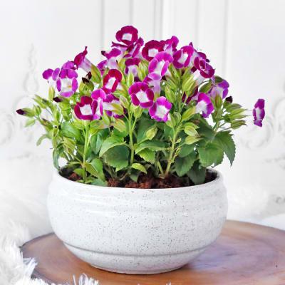 Torenia Purple Flower Plant in Ceramic Planter