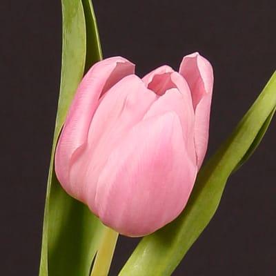 Tulip Aafke (Bunch of 10)