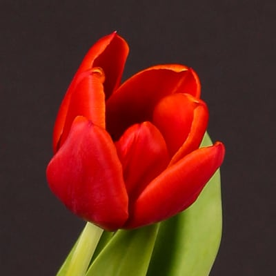 Tulip Abra (Bunch of 10)