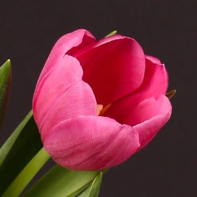 Tulip Carmen (Bunch of 10)
