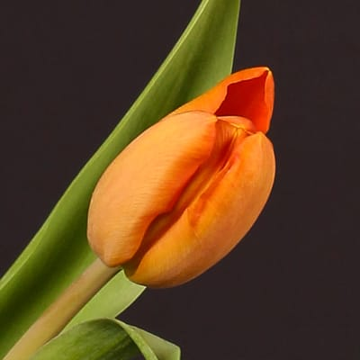 Tulip Charada (Bunch of 10)