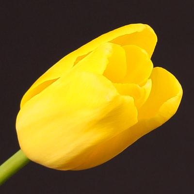 Tulip Concador (Bunch of 10)