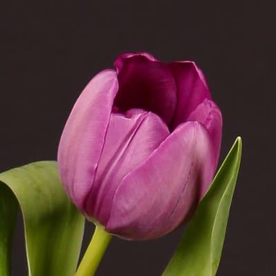 Tulip Negrita (Bunch of 10)