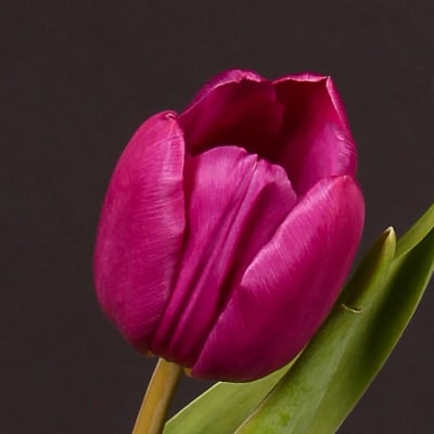Tulip Purple Prince (Bunch of 10)