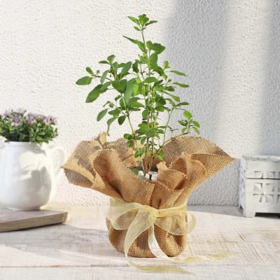 Tulsi Plant in Jute Wrapping with Plastic Planter