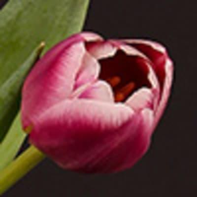 Vanda Bright Pink (per Stem)