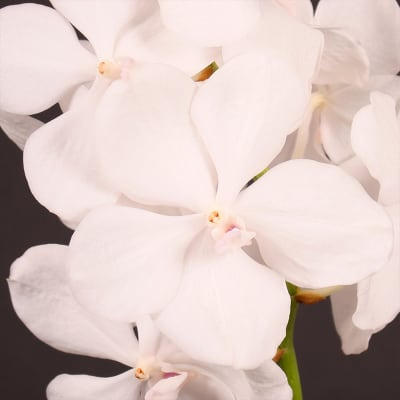 Vanda Diamond White (per Stem)