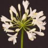 Agapanthus Polar Ice (Bunch of 10) Online