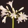Agapanthus Volendam (Bunch of 10) Online