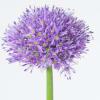 Allium Gladiator (Bunch of 5)