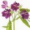 Alstroemeria Carline (Bunch of 10) Online
