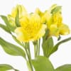 Alstroemeria Gold (Bunch of 10)
