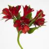 Alstroemeria Nadya (Bunch of 10) Online